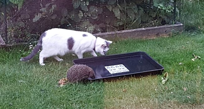 Hedgehog and Skye our cat drink together