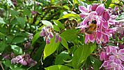 Deutzia with bee at The Dulaig Grantown