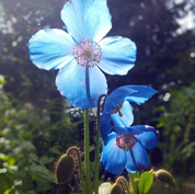 Such beautiful Himalayan Blue Poppies love it here