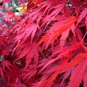 We have many beautiful Acers - this is in Autumn colour