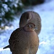Beautiful female pheasants in snow in our garden