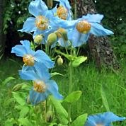 Himalayan Blue Poppies grow well in The Dulaig garden