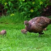 Garden full of wildlife such as Mrs Pheasant