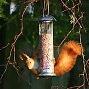 Red squirrels visit almost daily