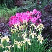 Irises and rhododenron - a beautiful colour combination at our Secret Garden