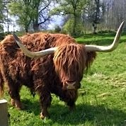 One of many Highland cows which you can see around this area.
