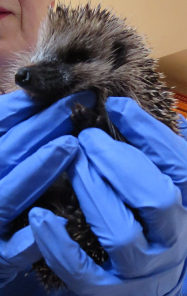 Our first hedgehog rescue of 2015