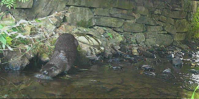 An OTTER is visiting The Dulaig garden....we really do have a wildlife haven!
