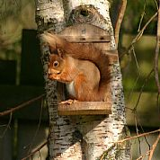 Red Squirrel in our garden at The Dulaig