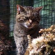 Scottish Wildcat at Kincraig Wildlife Park, Cairngorms National Park