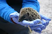 Rescued baby hoglet at The Dulaig Grantown-on-Spey