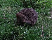 Young hedgehog after release in a wild area of The Dulaig garden