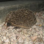First of several baby hedgehogs rescued at The Dulaig in Grantown