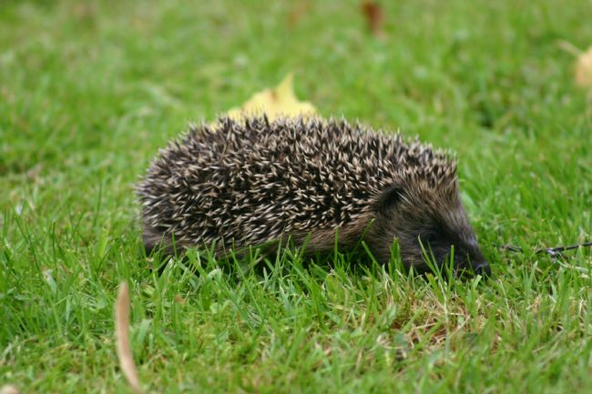 We have plenty of hedgehogs at The Dulaig B&B