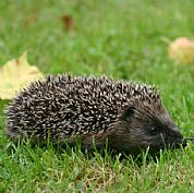 We rescued this tiny hedgehog - you should see how big it was just 7 months later!
