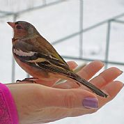 A bird in my hand.....beautiful little chaffinch