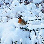One on many beautiful robins in our garden at The Dulaig
